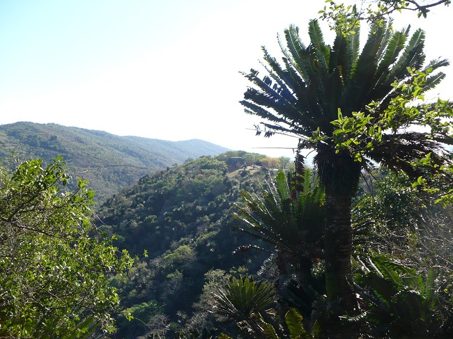 Modjadji Reserve Cycad and view.JPG