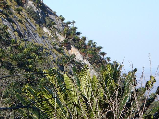 Modjadji Reserve Cycads on hillside 2.JPG
