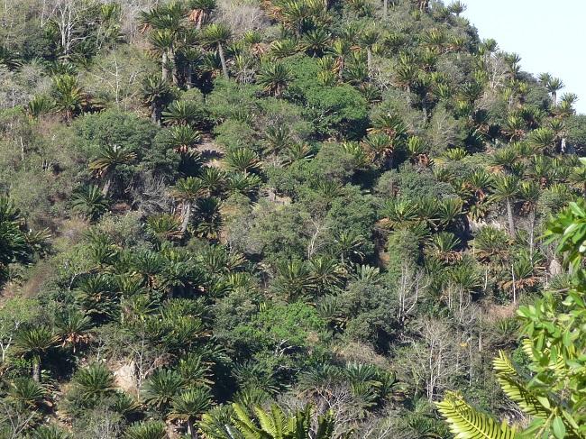 Modjadji Reserve Cycads on hillside.JPG