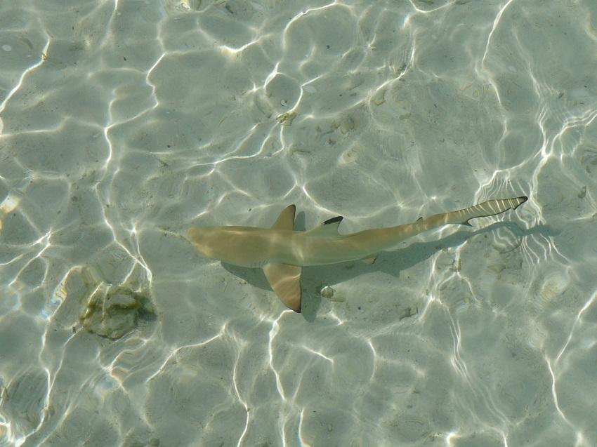 Cute little black tip reef shark