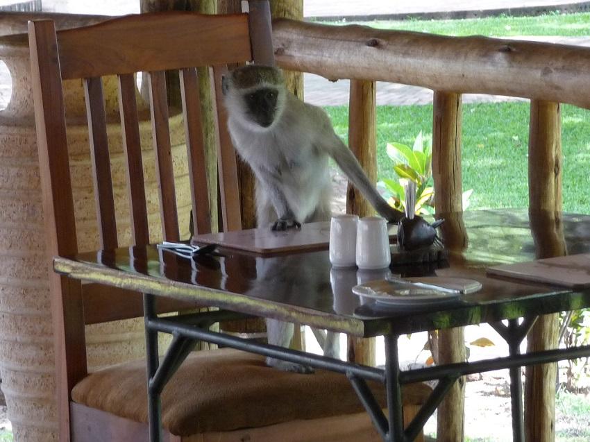 Mischievous monkey at aZambezi River Lodge.JPG