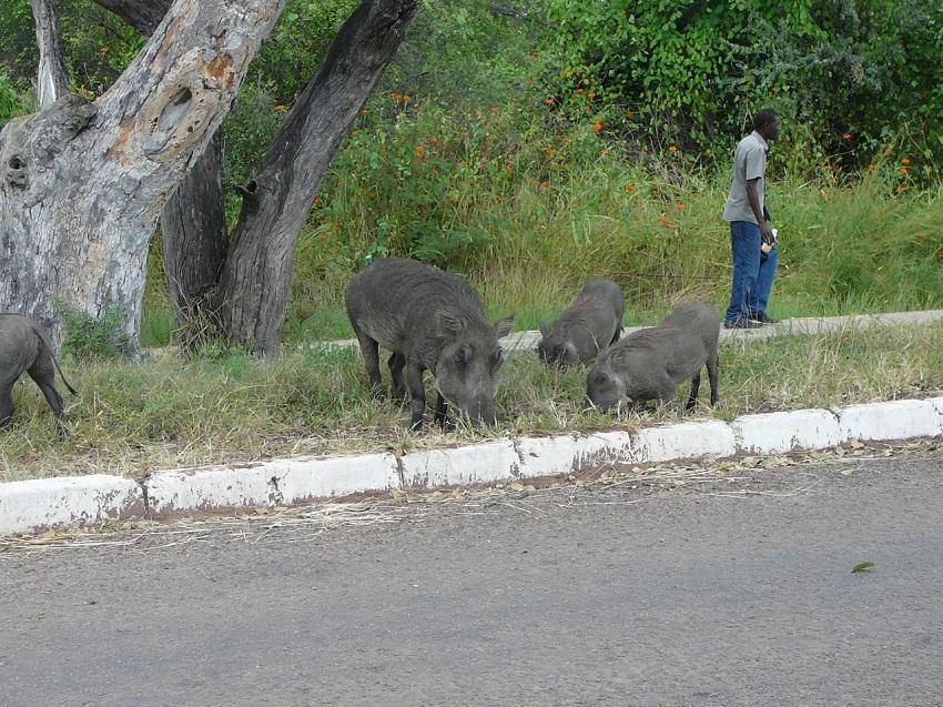 Warthog and pedestrian near Victoria Falls Town.JPG