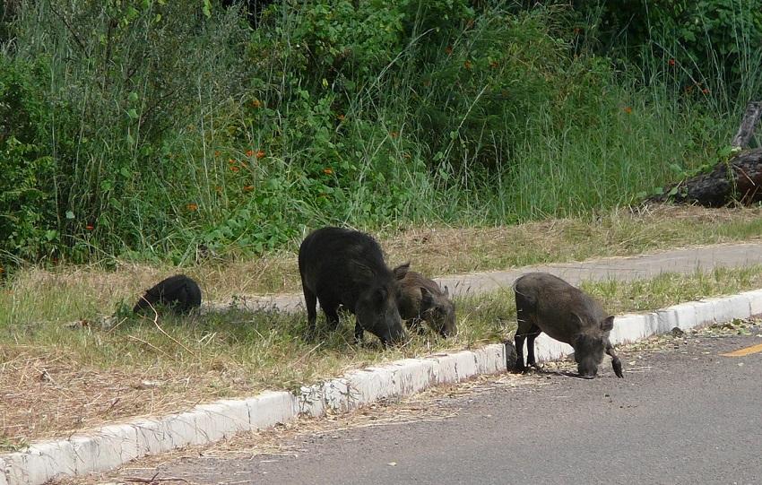 Warthog in road near Victoria Falls town.JPG