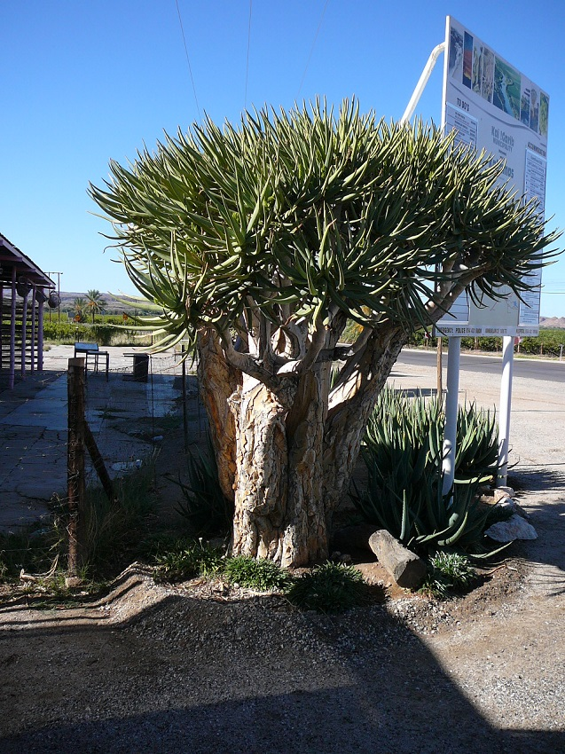 Quiver tree, synonymous with the area, a tree aloe or  Aloidendron dichotomum