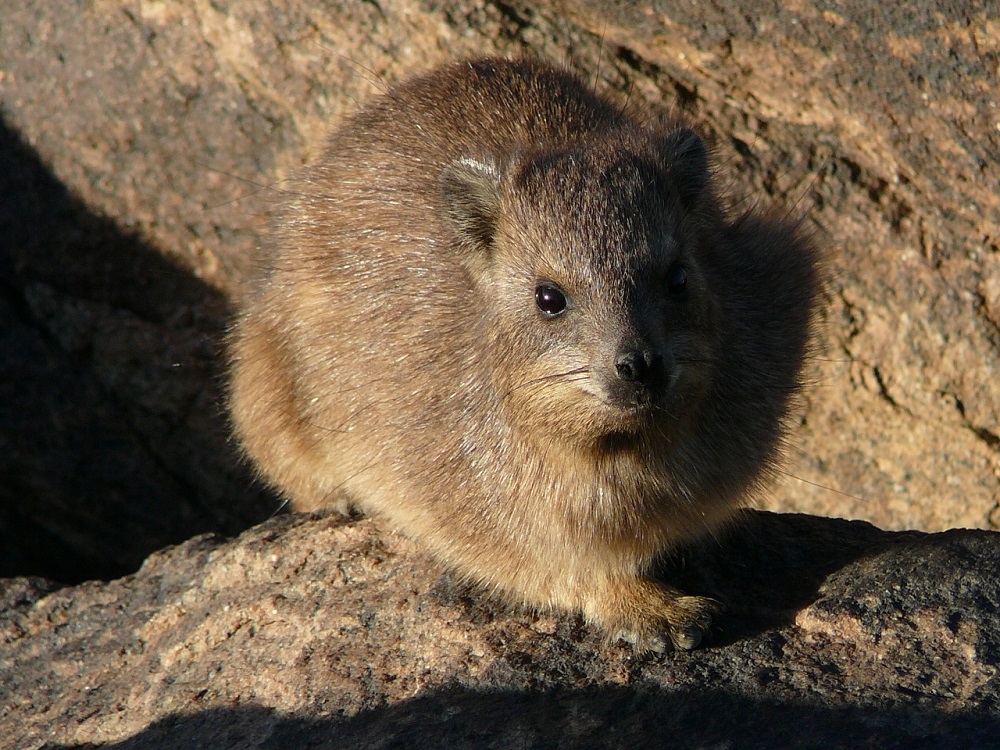 Dassies or Rock hyrax, commonly found at the falls