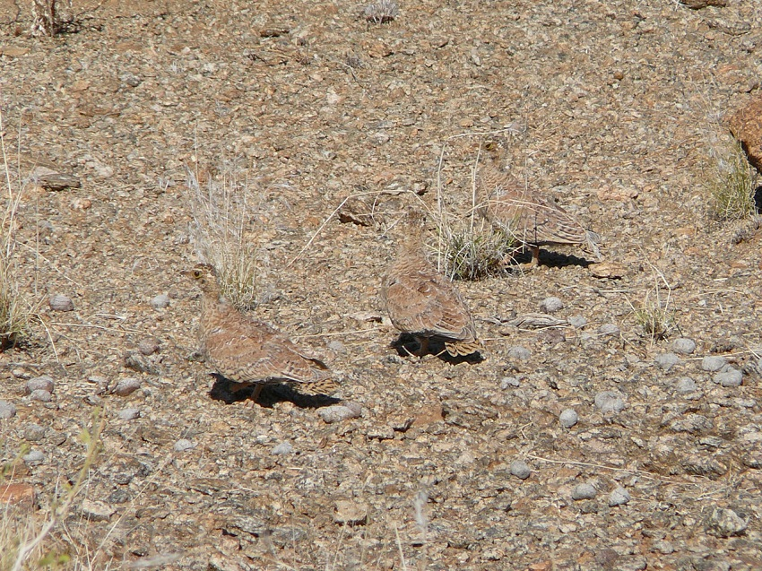 Namaqua sandgrouse 2.JPG