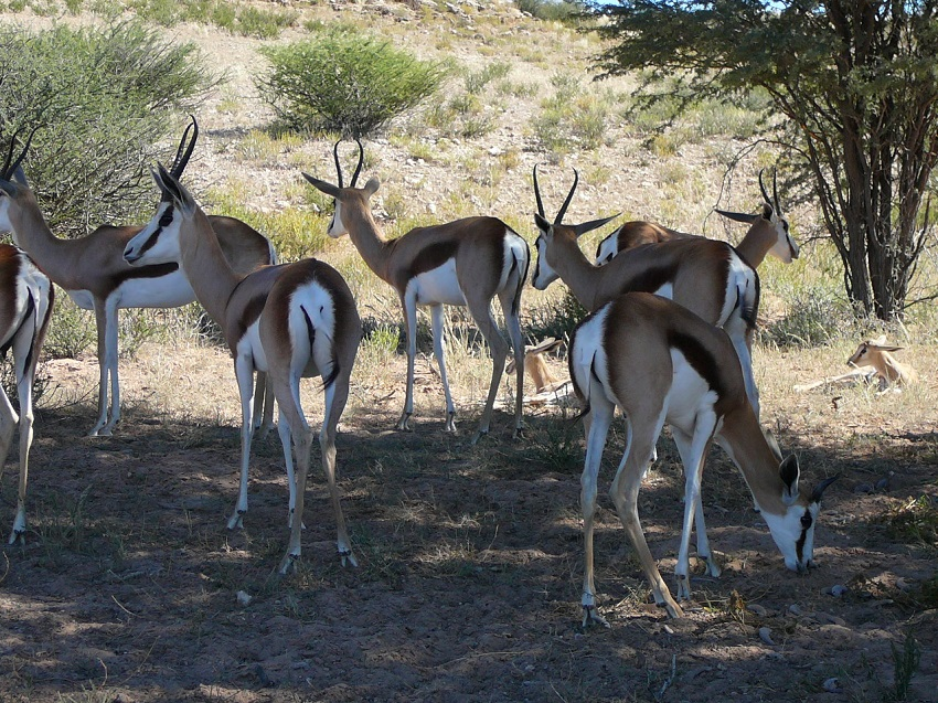Springbuck resting in the shade of the tree