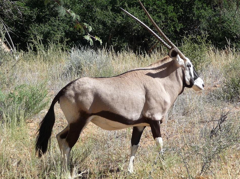 Gemsbok or South African Oryx, native to arid regions including Kalahari