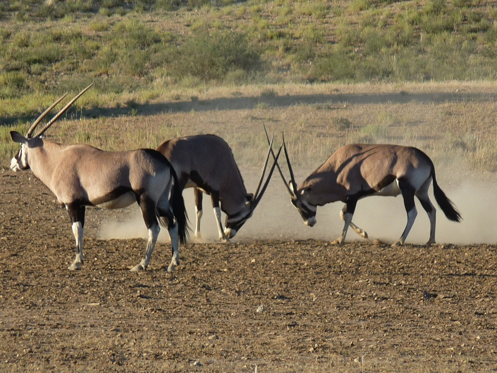 Gemsbok synonomous to Kgalagadi, butting heads
