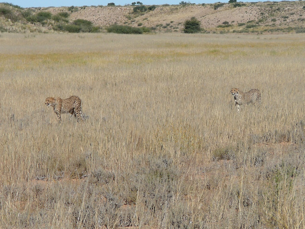 Cheetah walking through grass Kgalagadi Transfrontier Park.JPG