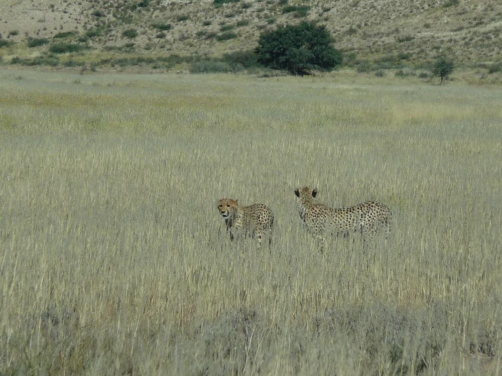Two Cheetah Kgalagadi Transfrontier Park.JPG