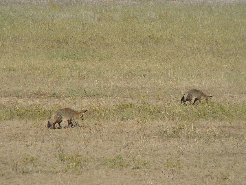 Family! My cousins, bat-eared foxes