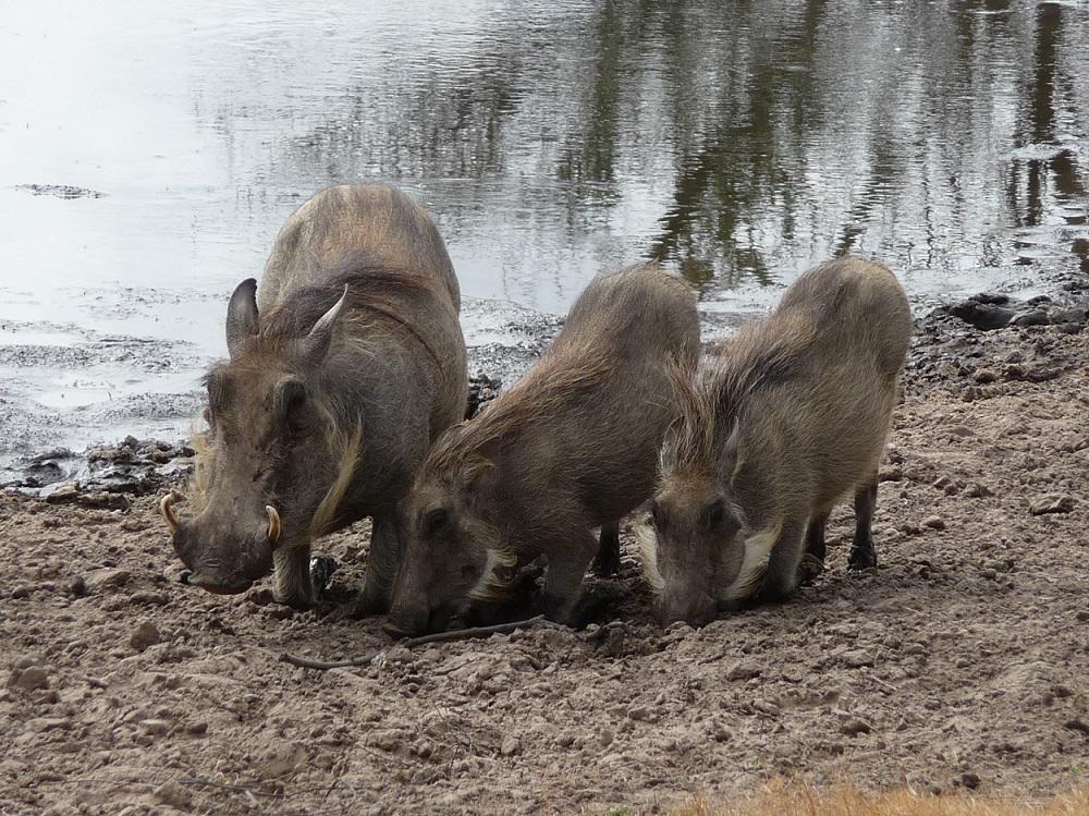 Three little piggies in the bush