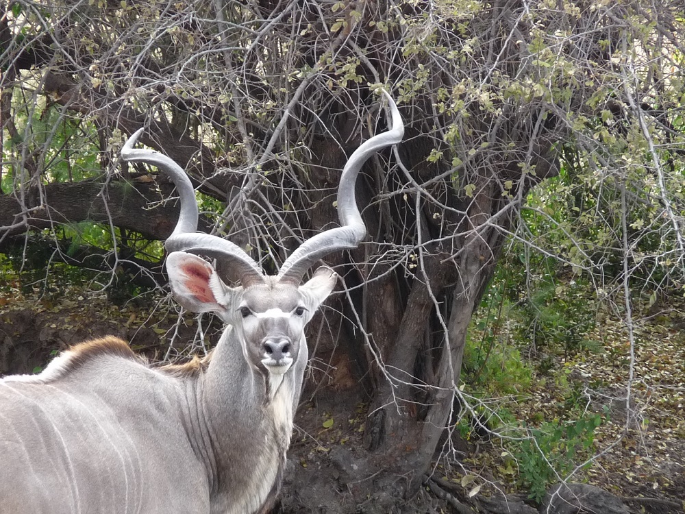 Kudu bull, a beautiful antelope with magnificent horns