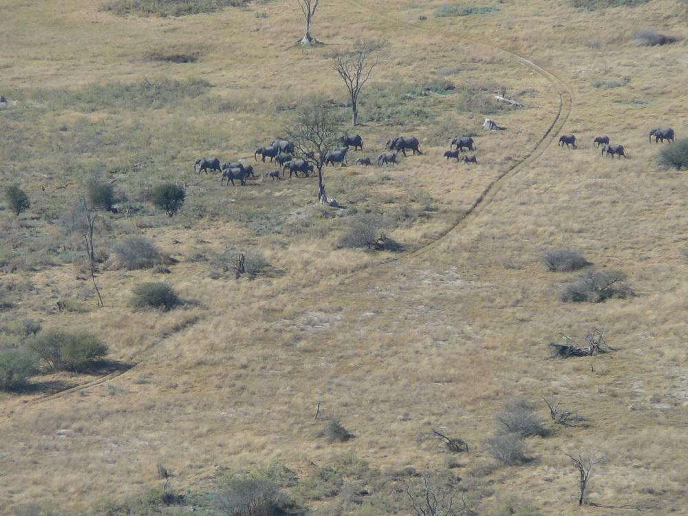 Elephant from air Okavango.JPG