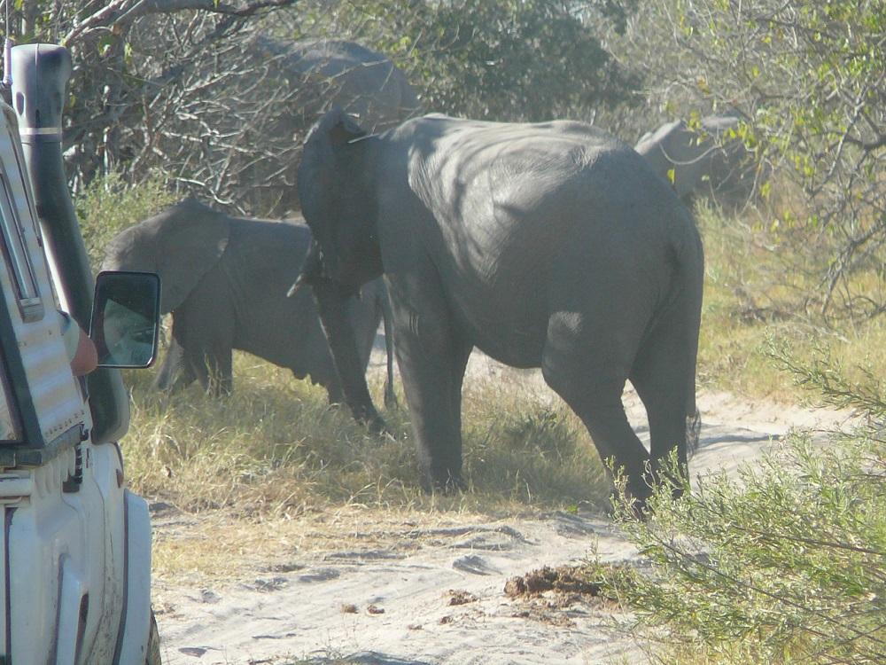 www.roaming-fox.com Elephant Moremi (2).JPG