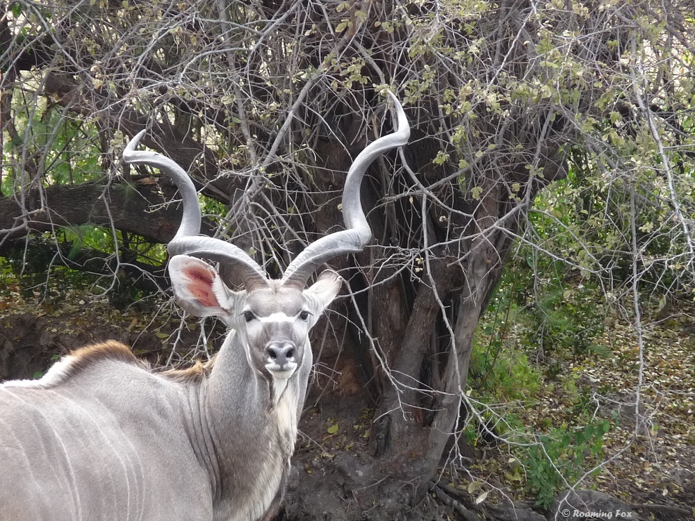 Did you know the horns are shaped so that the eye of the kudu can see in a straight line through the center of the horn to the tips, without any obstruction?
