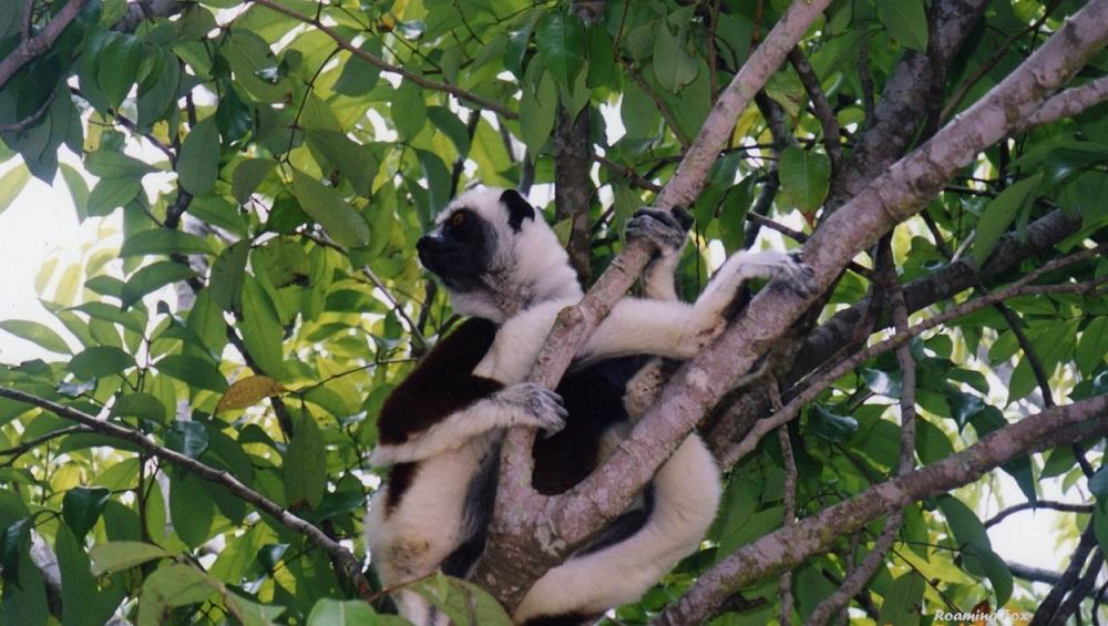 Lemur at Lemur Park Antananarivo