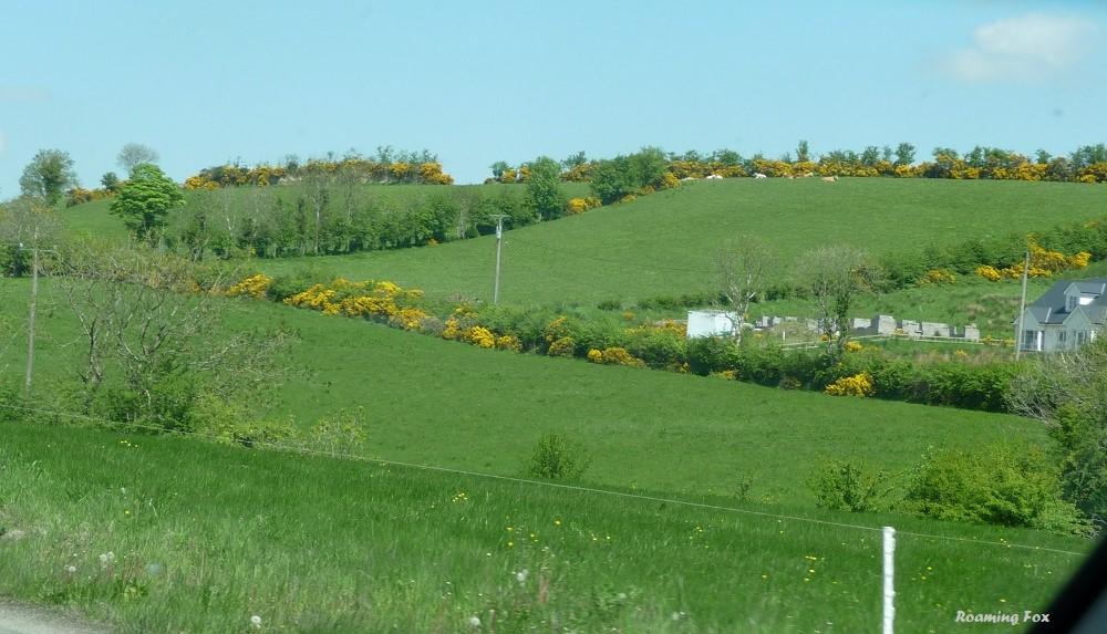 Gorse hedges Ireland