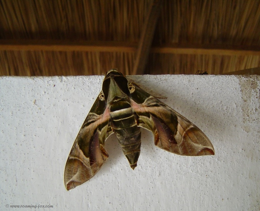 Beautiful huge moth