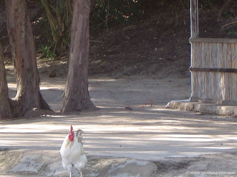 The rooster that woke us before the crack of dawn at Zavora