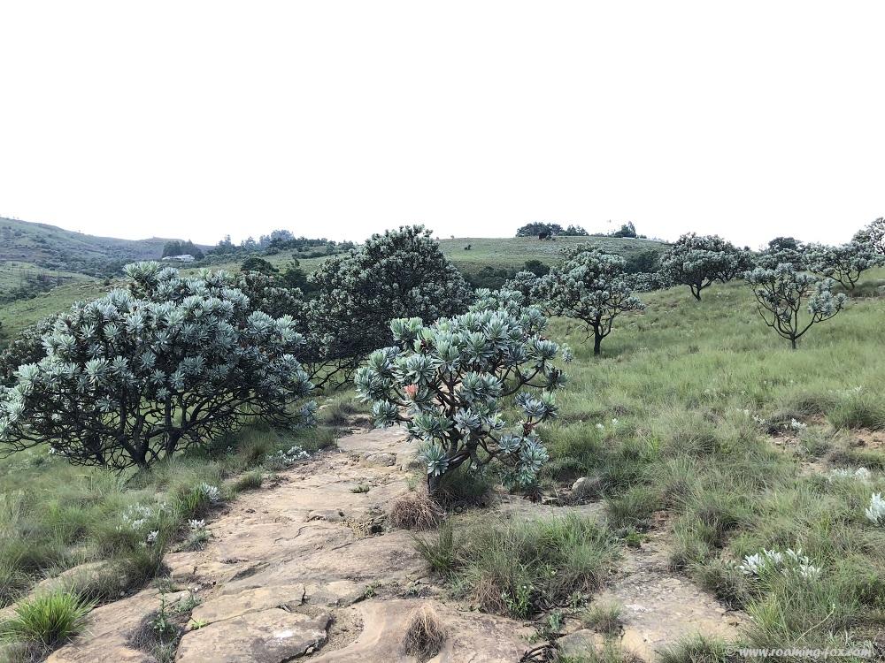 Proteas next to the path