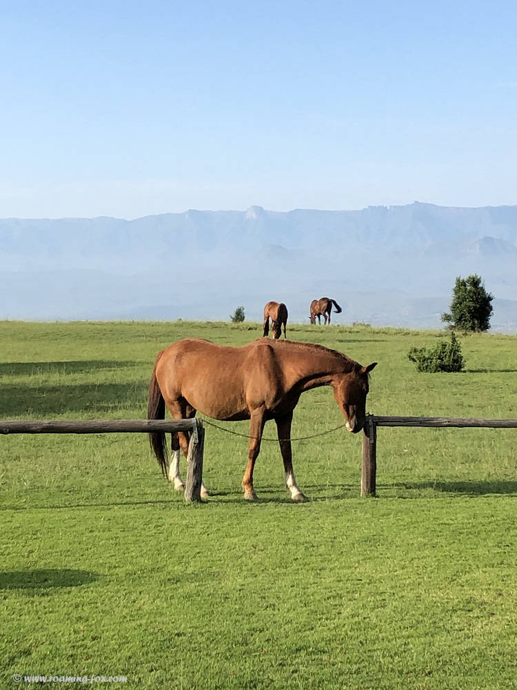 One of the horses roaming freely at Drakensberg Mountain Retreat wanting to join us for breakfast