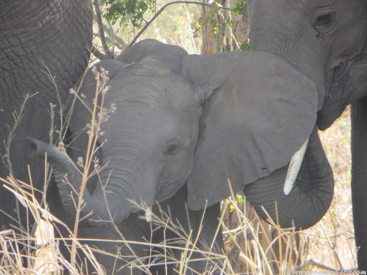Elephant of Mapungubwe