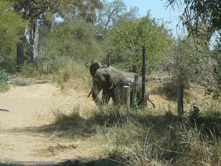 Elephant Mapungubwe