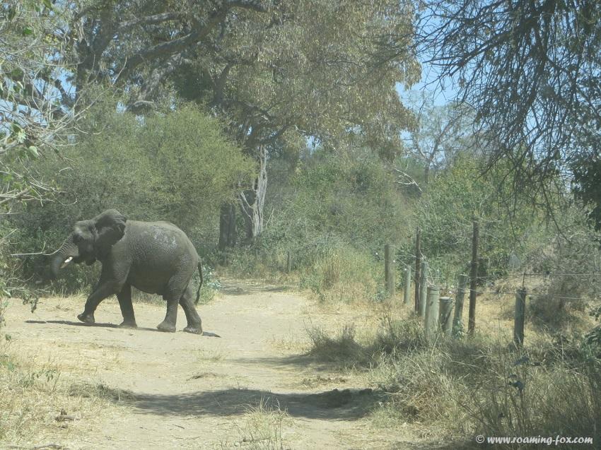 Elephant-Mapungubwe.JPG