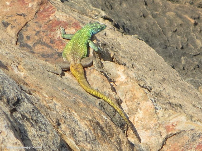 Lizards - Agama