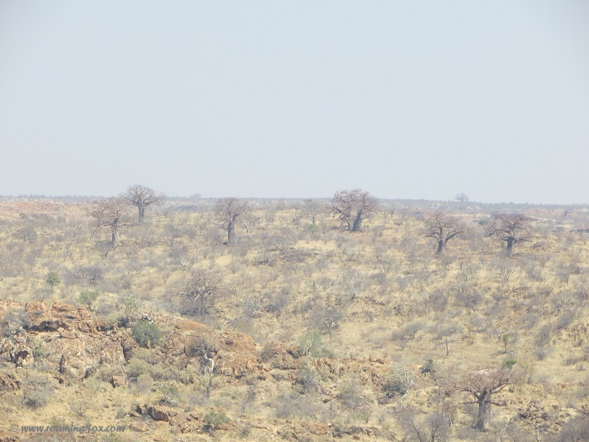 Baobabs standing out in the rugged landscape