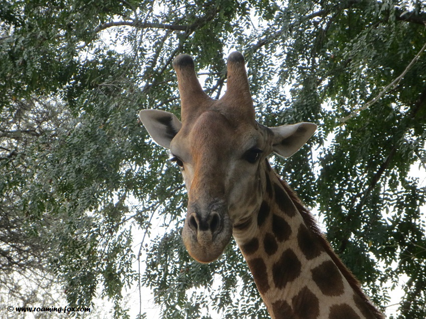 Giraffe standing really close to our vehicle