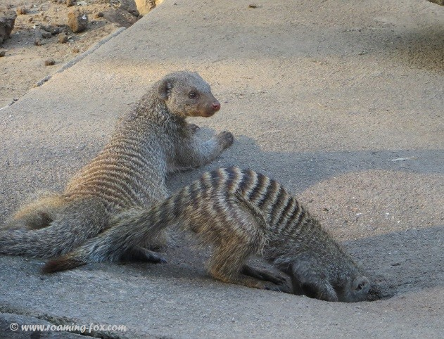 Mongoose looking for water