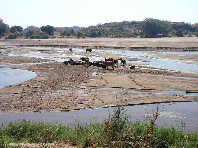 Cattle on the Limpopo riverbed