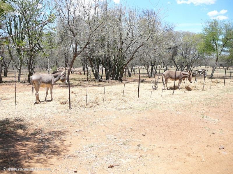 Donkey, Zonkey and Zebra