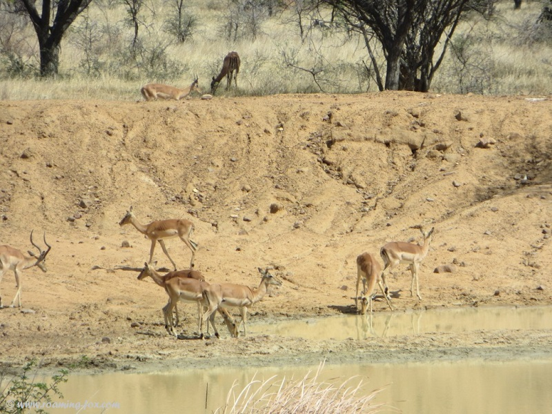 Impala drinking at the dam