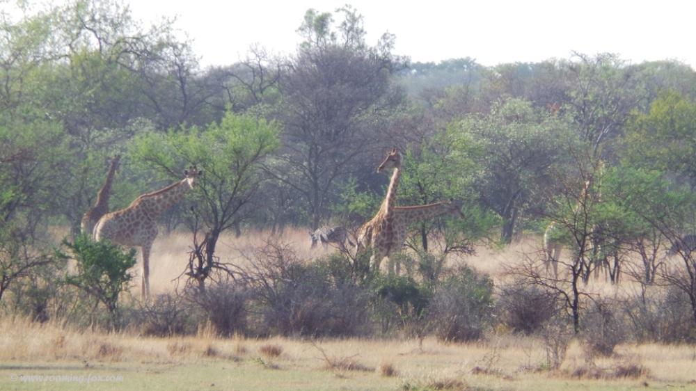 Giraffe and zebra