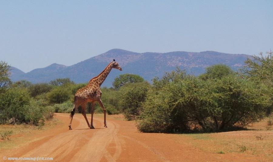 Giraffe strolling over road