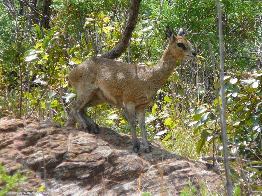 Driving down the pass we saw klipspringer