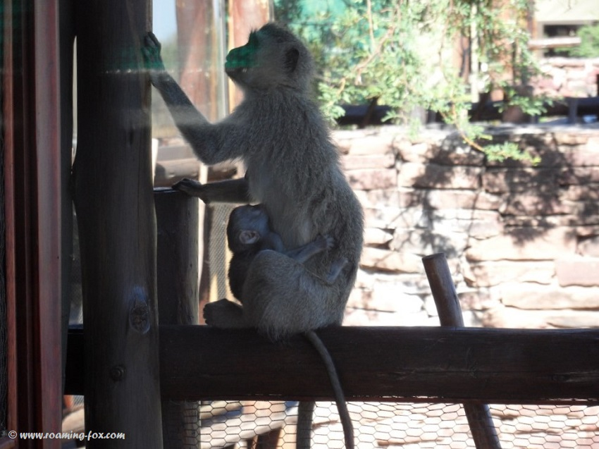 Marakele National Park and mischievous monkey antics