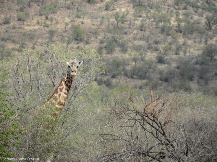 Giraffe at Marakele - Waterberg