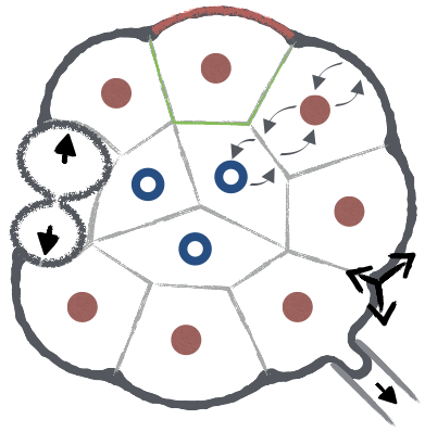 Figure 4 :  SKETCH OF AN EARLY EMBRYO WITH THE DIFFERENT PROCESSES Controlling its self-organization: gene regulation, cell division and polarization, cell mechanics and cell-cell communication.