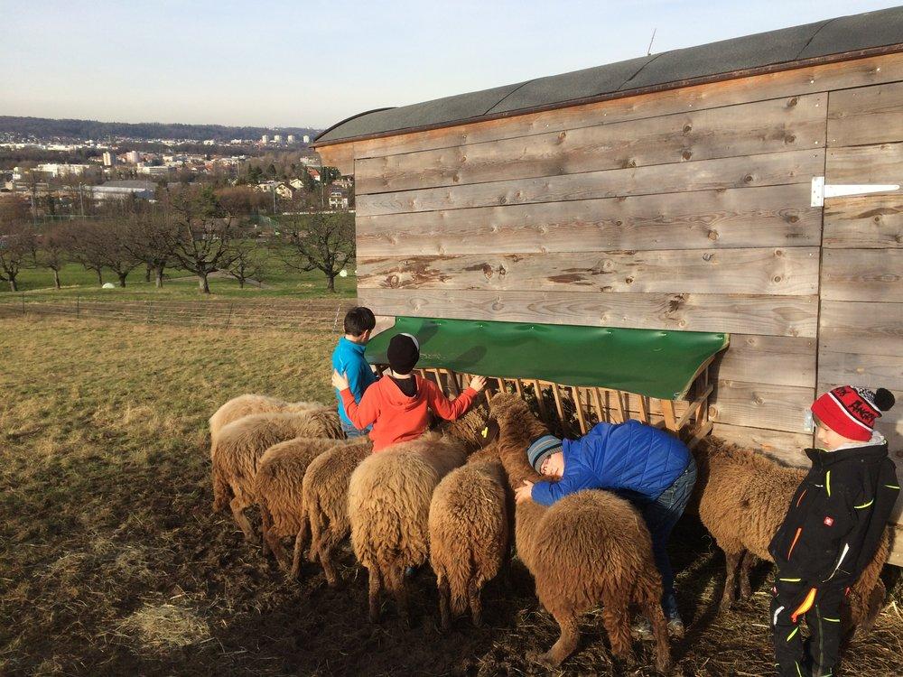 Schafe werden gefüttert