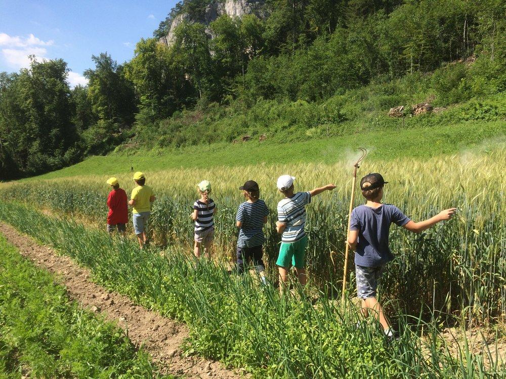 Aschedünger auf den Weizen streuen