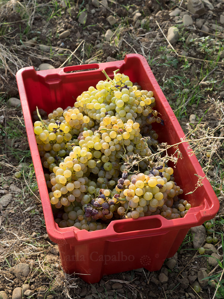 Hand-picked grapes at harvest