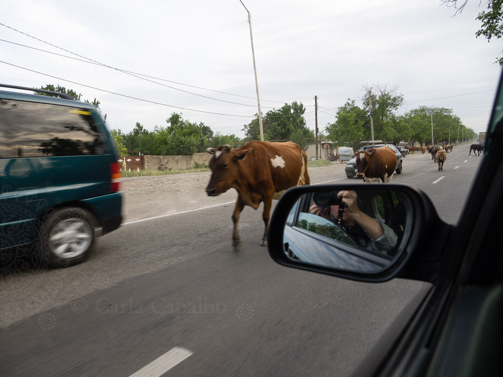 Cows on the road