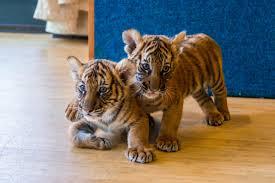 Tiger Cubs.jpg