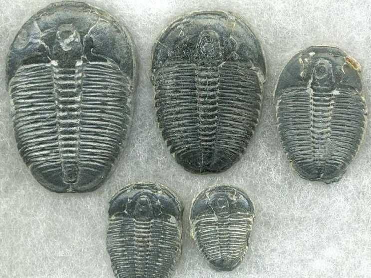 trilobite-fossil.jpg