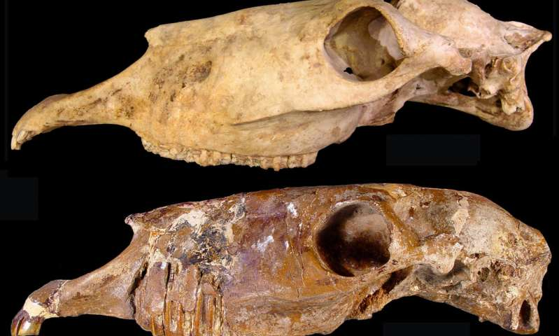 Two skulls of the new genus  Haringtonhippus  from Nevada (upper) and Texas (lower). Credit: Eric Scott